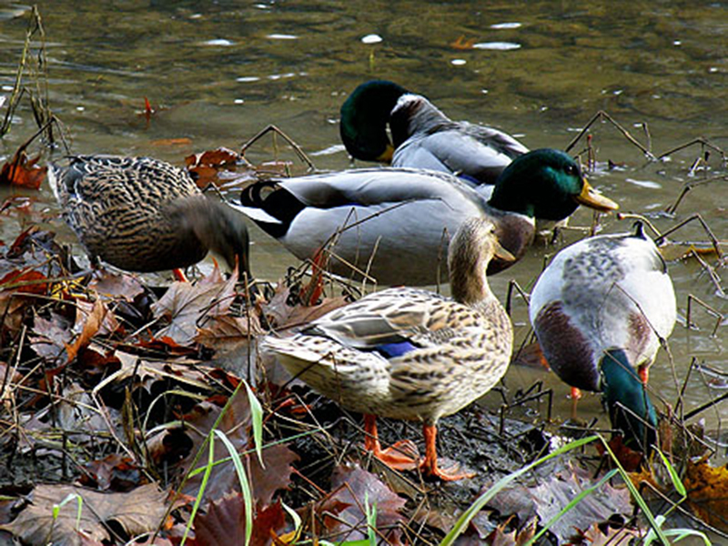 ORWT-Little-Beaver-Creek-Park-Ducks.jpg